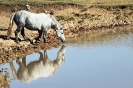 Divlji konji